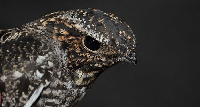Tracking common nighthawks to shed light on declining populations