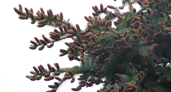 The elegant and essential cones of coniferous trees