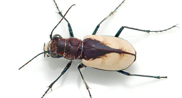 Student discovers threatened beetle is actually two separate subspecies